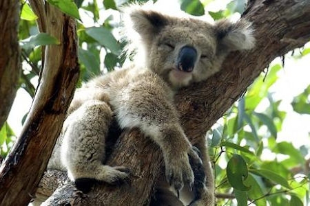 The Koalas of Kennett River on the Great Ocean Road