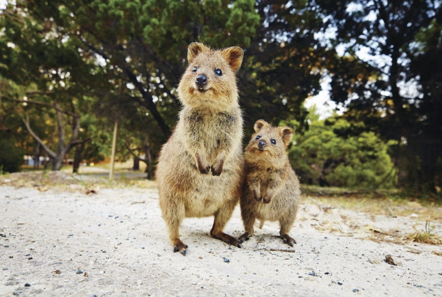Meet the friendly locals on Rottnest Island!