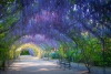 Adelaide's wisteria tunnel in the Botanical Gardens