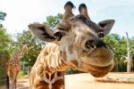 Meet a range of local and exotic animals at the famous Perth Zoo!